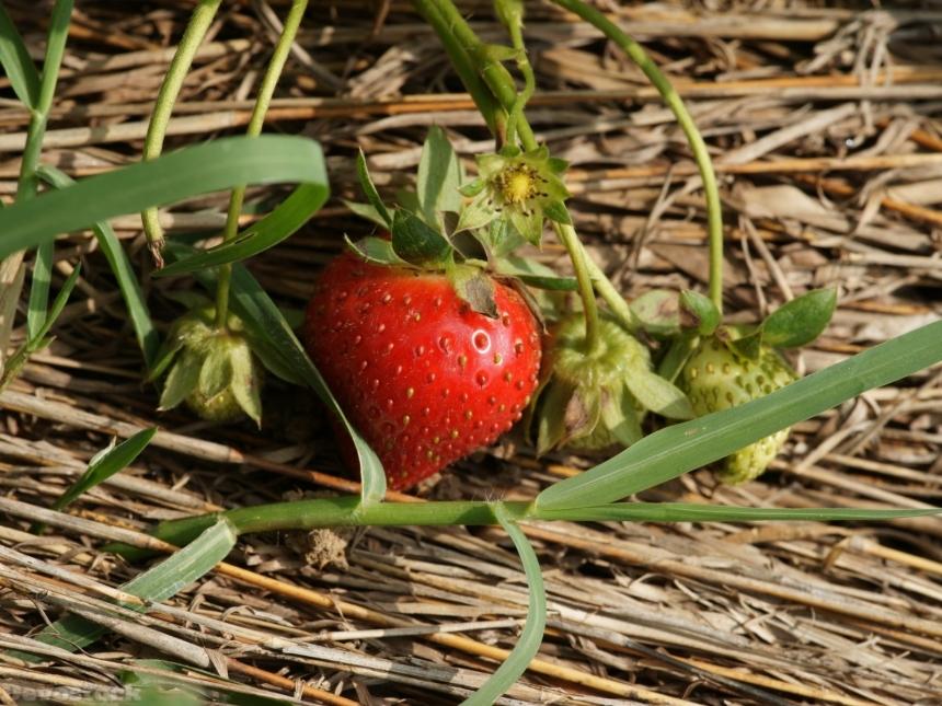 stock-photo-strawberrydsc01735g1wp-9957.jpg