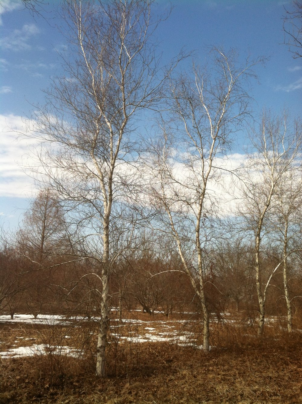 Birch: New Beginnings
