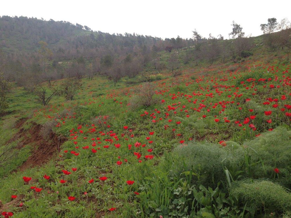 anemone-coronaria-rbg-site.jpg
