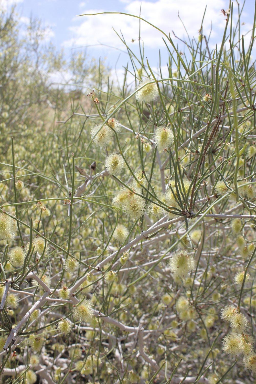 calligonum-comosum-in-wadi-araba-jordan.jpg