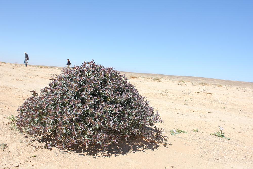 euphorbia-retusa-in-eastern-desert-jordan.jpg