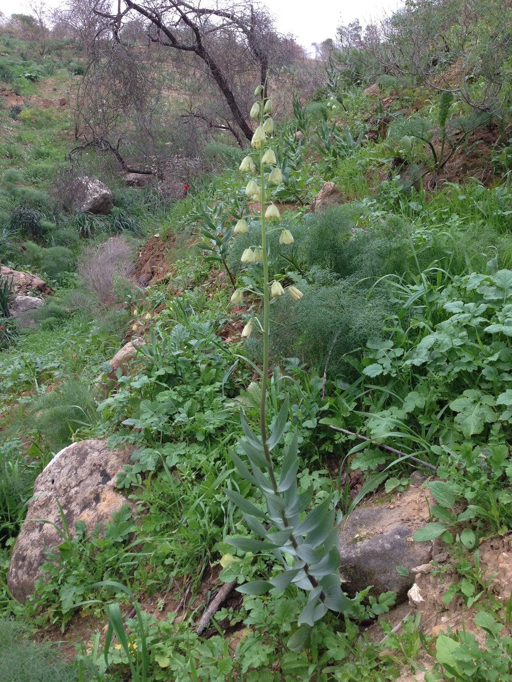 fritillaria-persica-rbg-site.jpg
