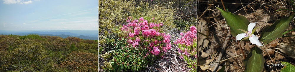 Left to Right: A view of the mountainous valley and ridge province of western Virginia from the top of Bald Knob; Rhododendron prinophyllum in full bloom amongst the acid soil loving flora on Bald Knob; Trillium undulatum in the same region.