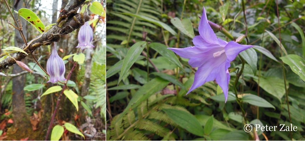 Left: Crawfurdia cf. campanulata in Kachin State, Northern Myanmar at ca. 3000m in elevation; Right: Tripterospermum sp. in Kachin State, Northern Myanmar