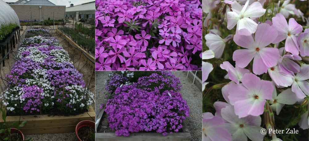 Left: Some of the Phlox hybrids I created under evaluation at the Ornamental Plant Germplasm Center. Center: Phlox pilosa ssp. deamii is one of the most promising members of the Phlox pilosa complex for cultivation.  It is more compact and floriferous than other forms of P. pilosa.  It also reminds me of plant collecting in Kentucky.  It has a very restricted natural range and has become very rare in the wild. Right: A clone of Phlox nivalis discovered in the Florida panhandle.  This clone is a unique color pattern in Phlox.