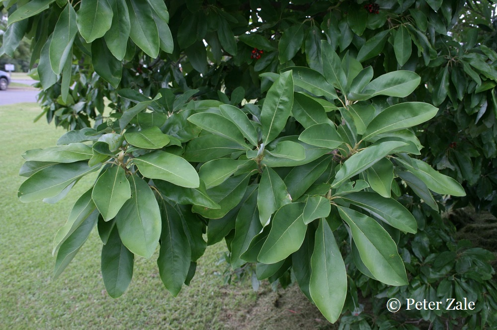 "The foliage of Magnolia virginiana ""var. ludoviciana"""