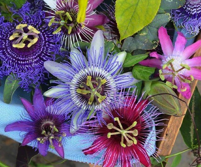 passion-flower-passiflora-Hawaii