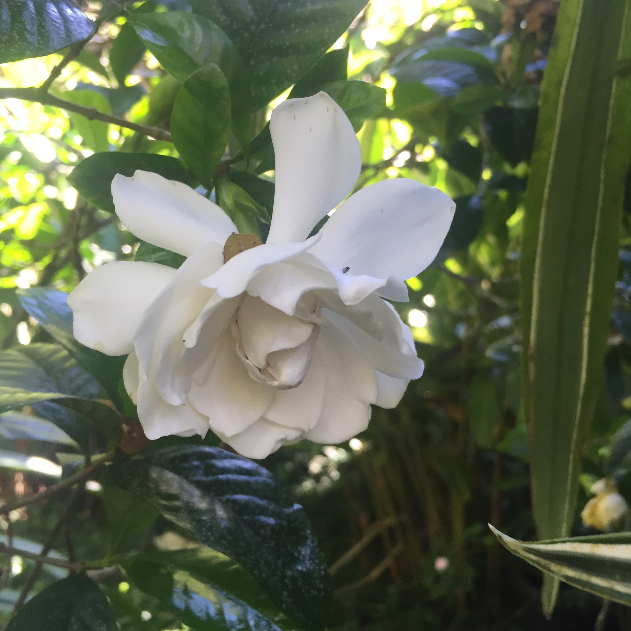 Gardenia-Hawaii-GraceMartinelli