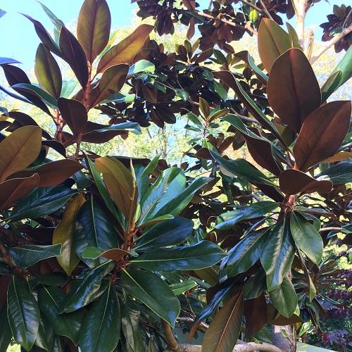 magnolia-grandiflora-dd-blanchard