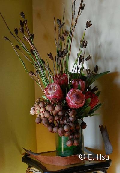 protea-corymbia-lq