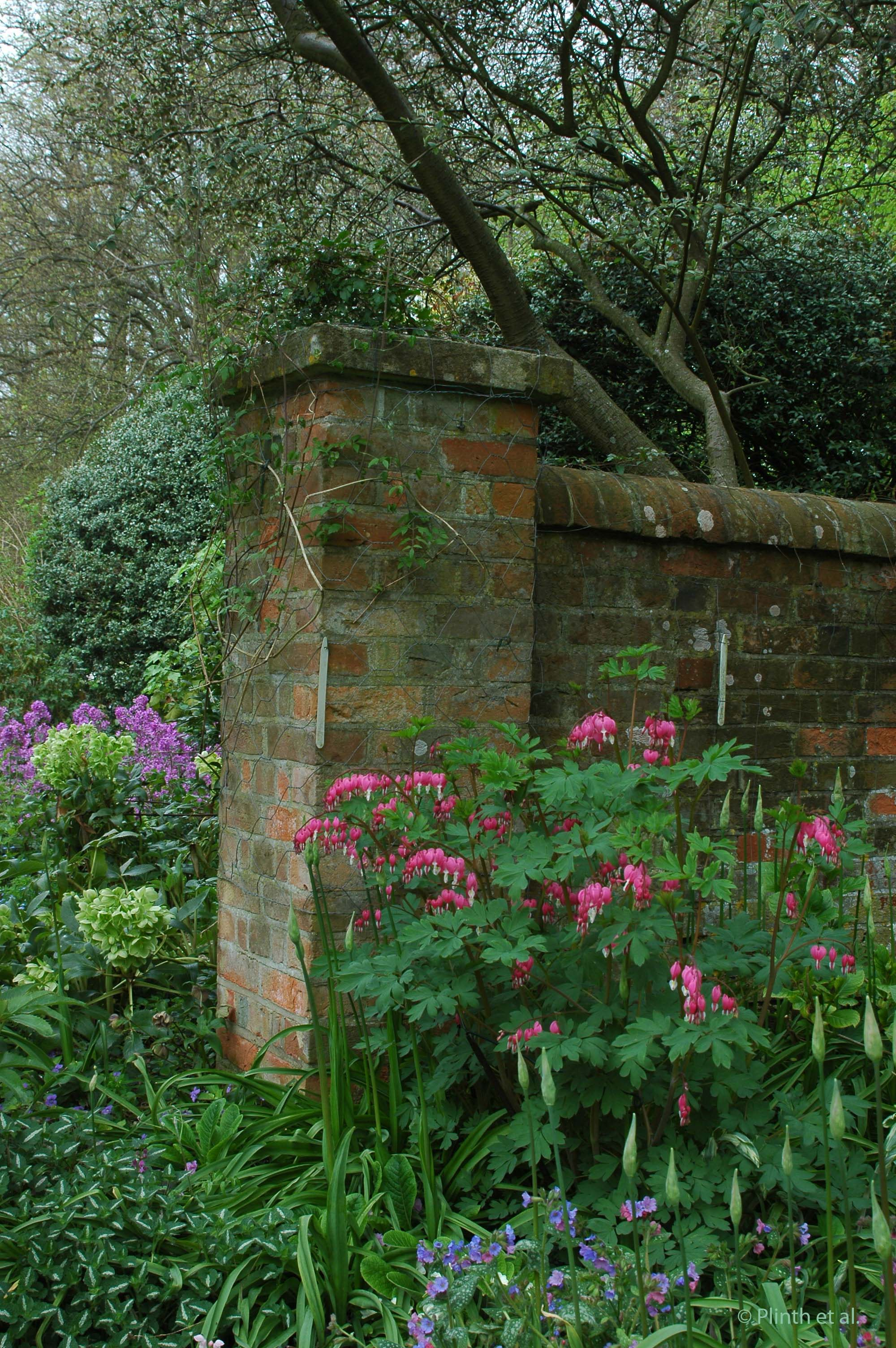Bleeding_heart_Old_rectory_farnborough