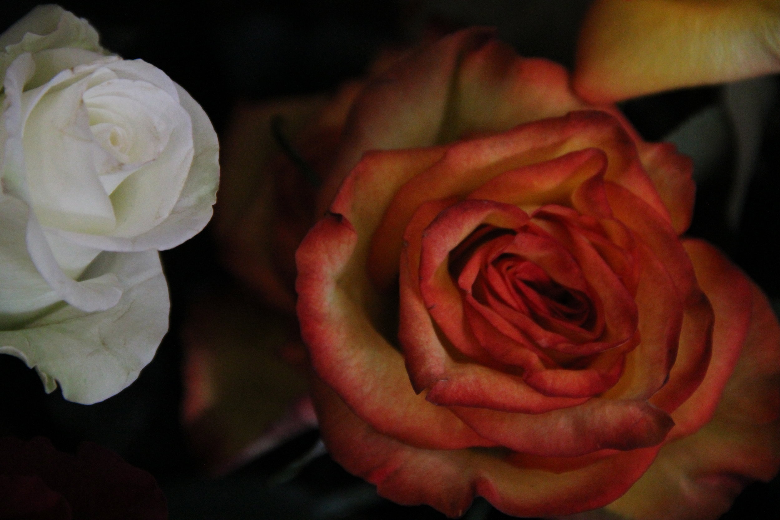 Rose 'Sunset'