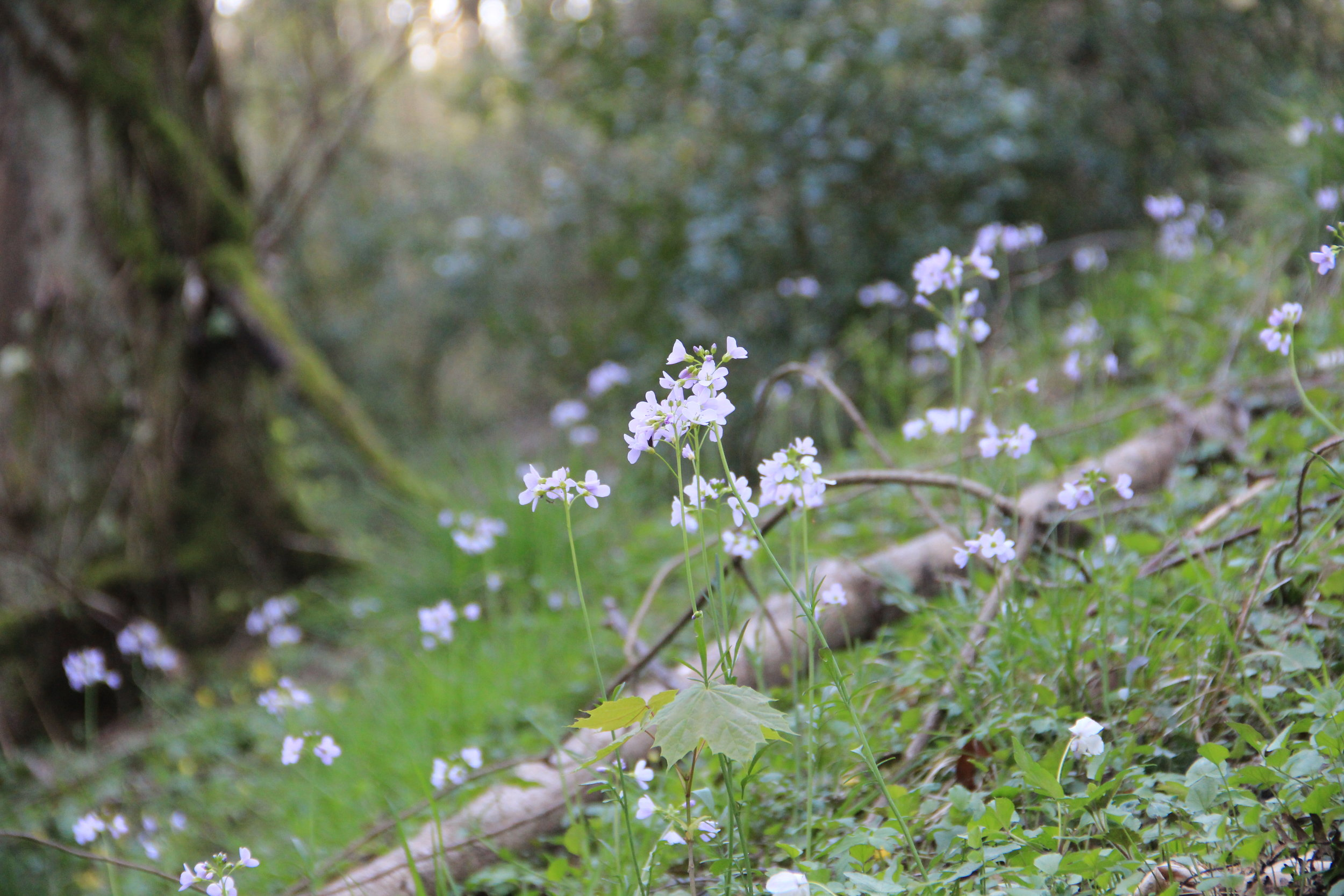 Cuckoo flower in full bloom