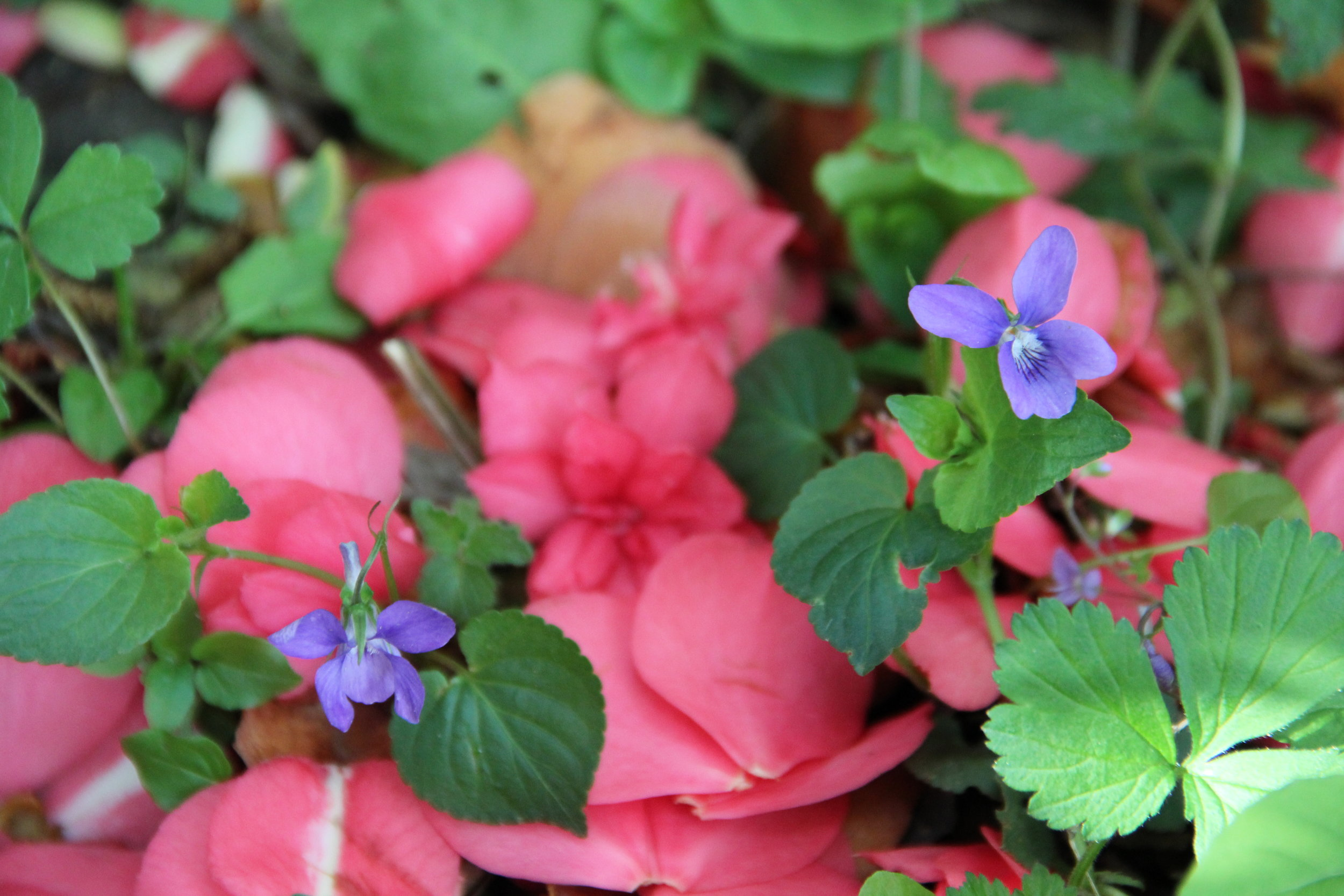 Violets and Camellia