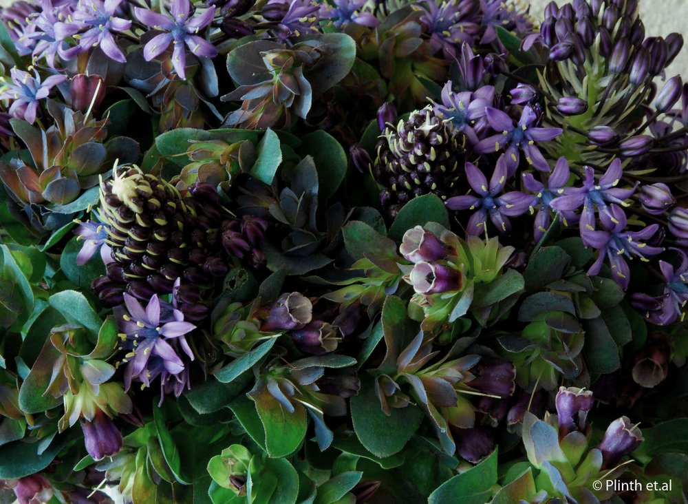 scilla-cerinthe-close-up-lq.jpg