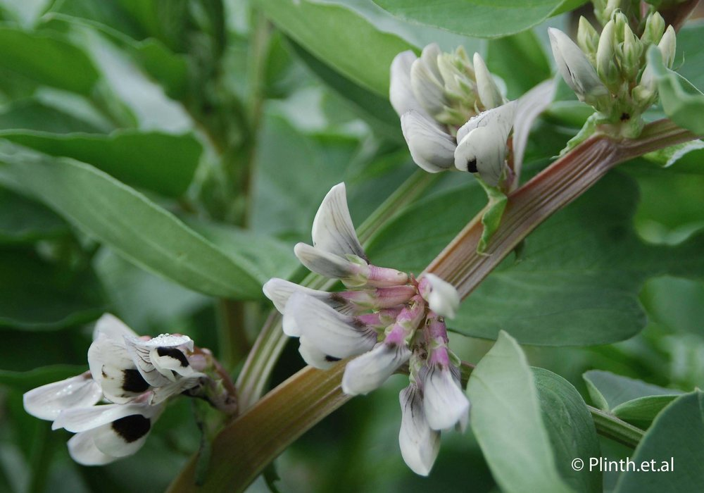 broad-bean-flowers.jpg