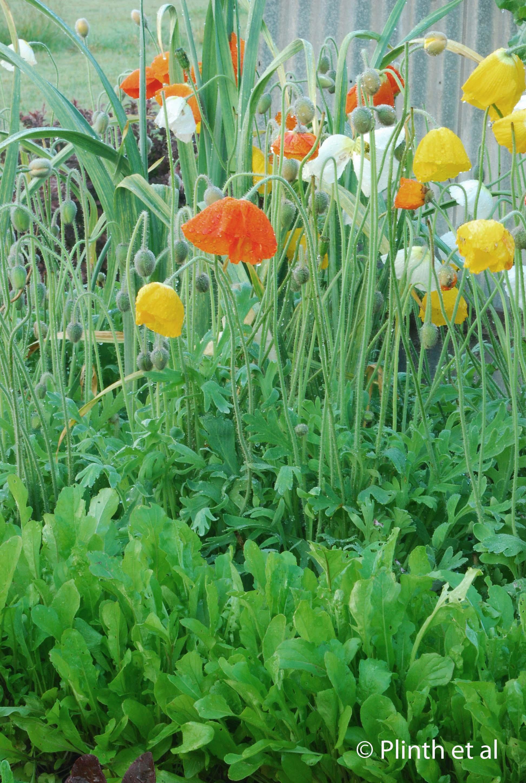 Iceland poppies are planted between arugula and leeks (private garden, Tasmania, Australia)