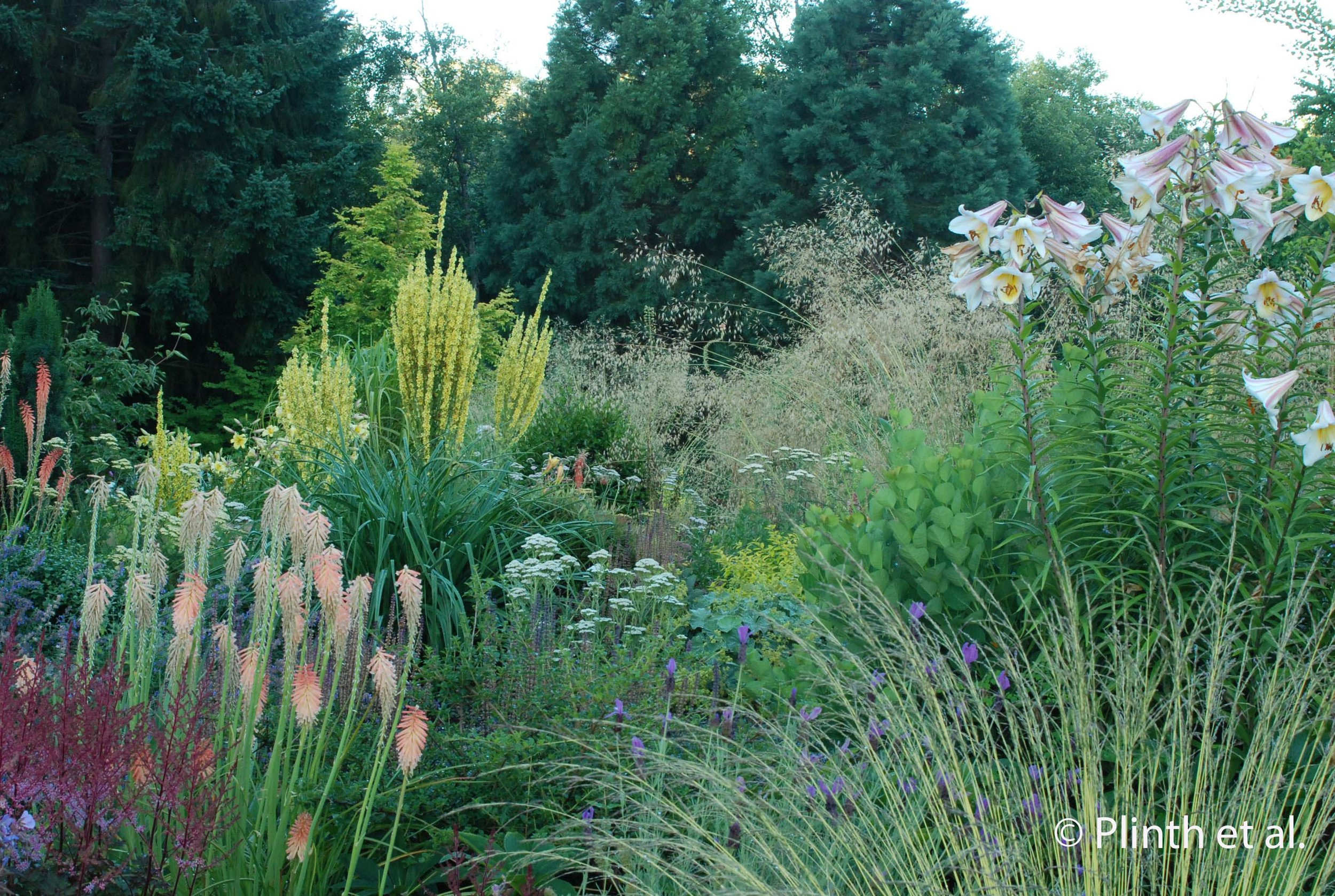 Cotinus coggyria 'Young Lady', seen behind the tall lilies (possibly Lilium sargentiae or Lilium regale) anchors the mixed plantings of grasses, Kniphofia, lavender, Astilbe, and other perennials.