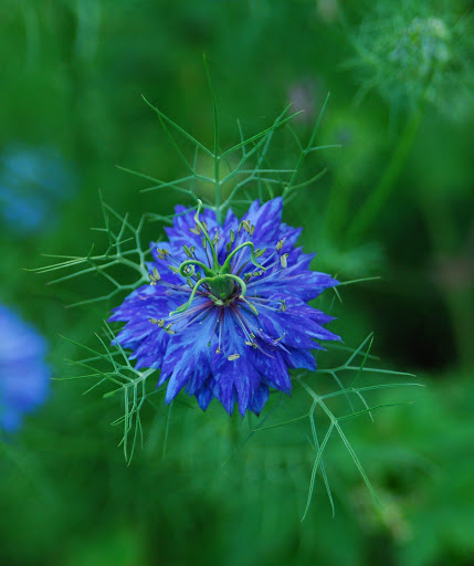 nigella-close-up.jpg