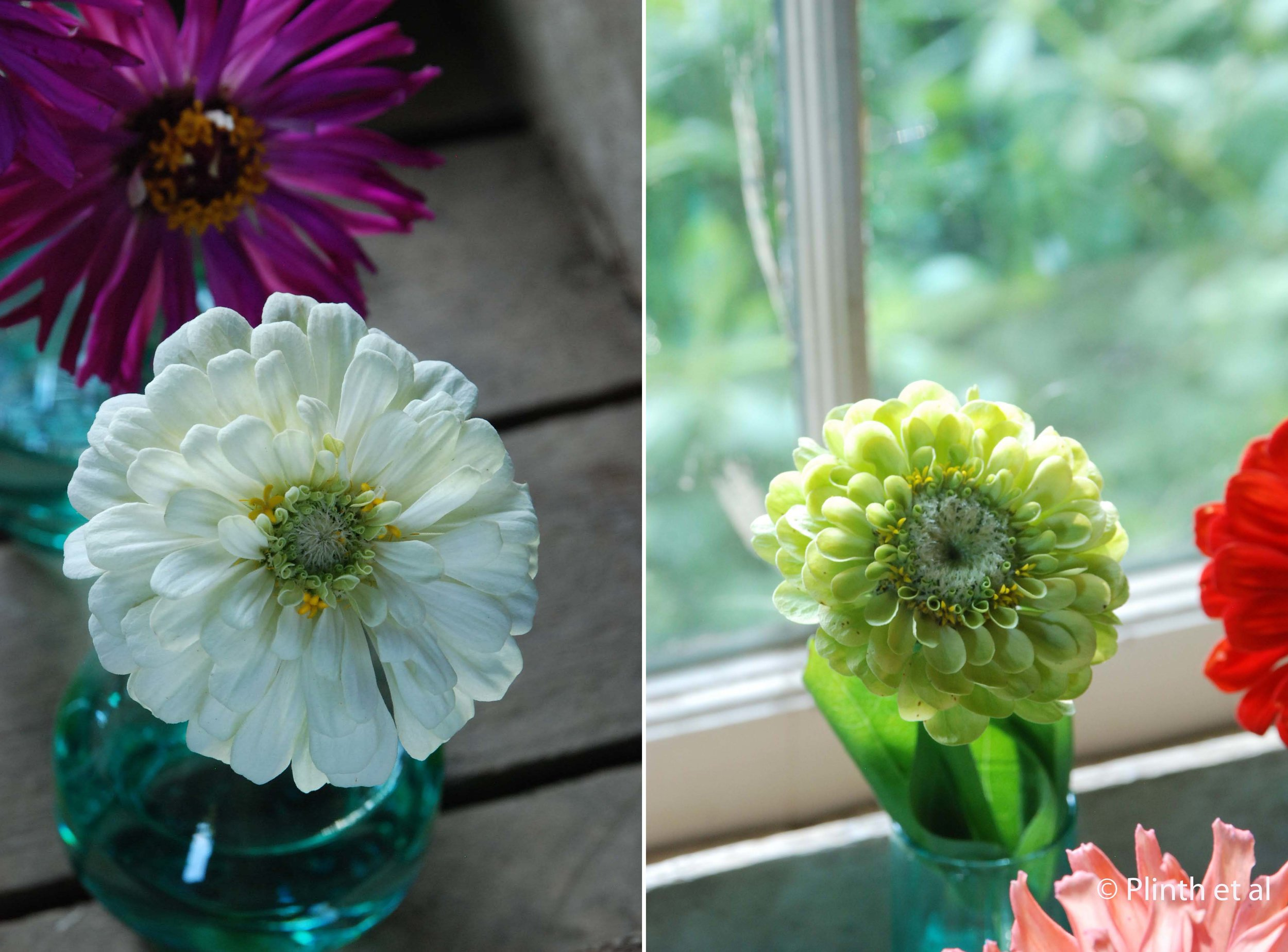 Zinnia 'Polar Bear' (left); Zinnia 'Envy' (right)