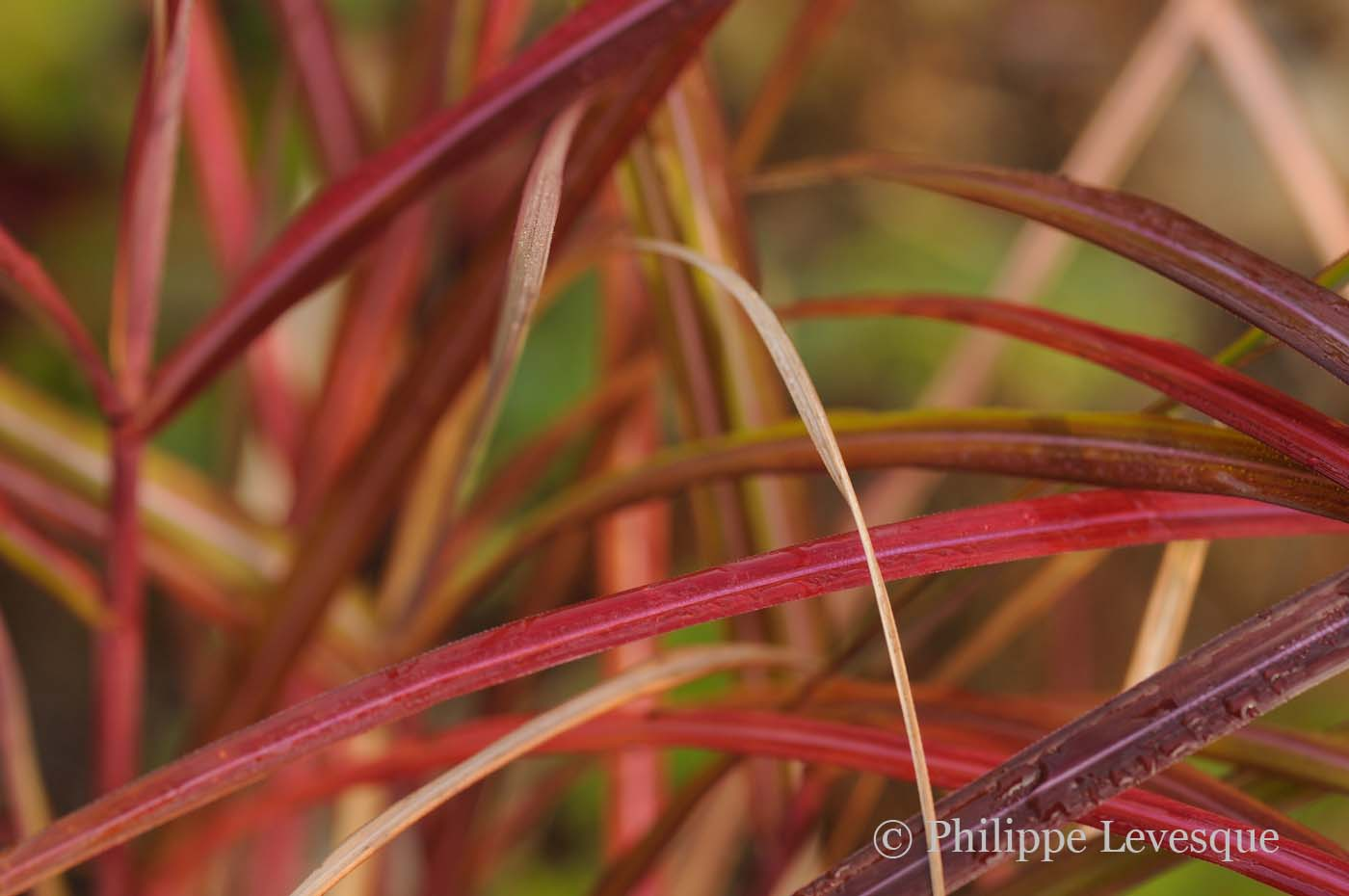 Miscanthus sinensis 'November Sunset'