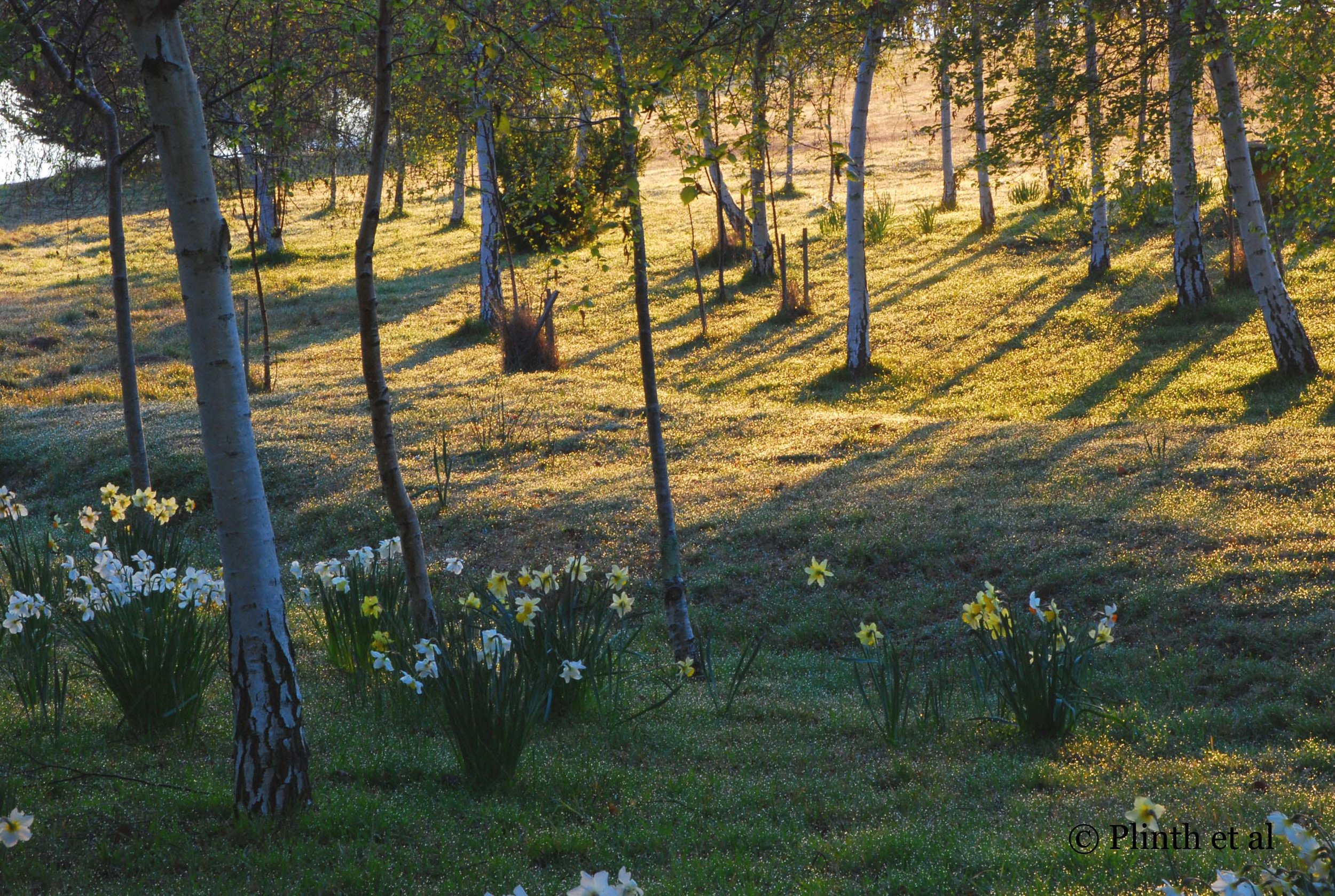 Birches cast long shadows across the lawn studded with daffodils.