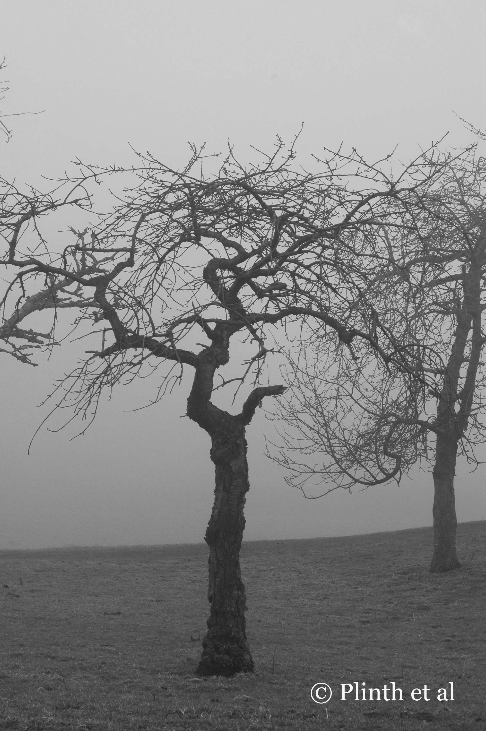The zig-zag framework of this gnarled apple tree is etched in sharp relief against the mist.