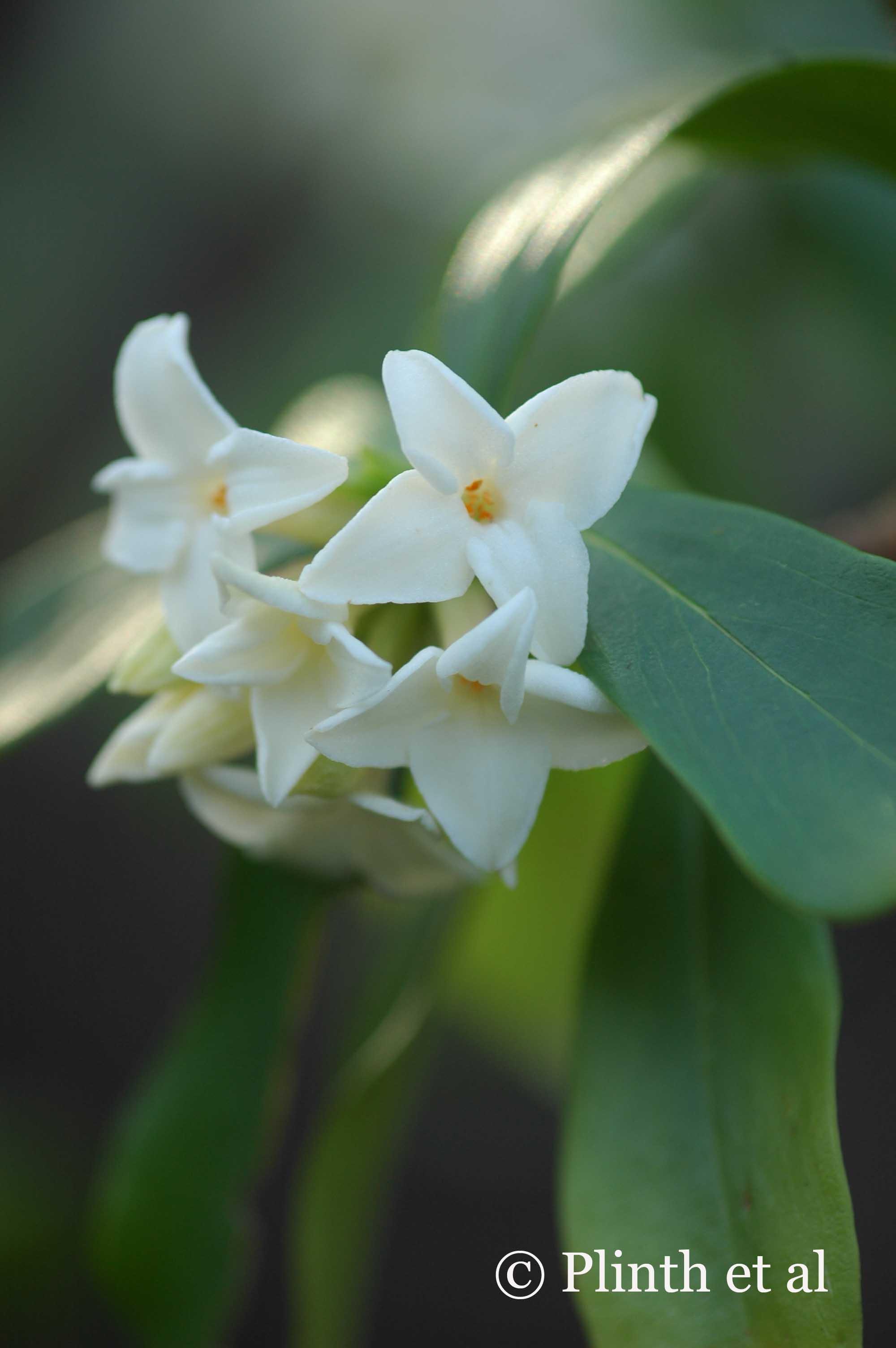 Daphne odora f. alba