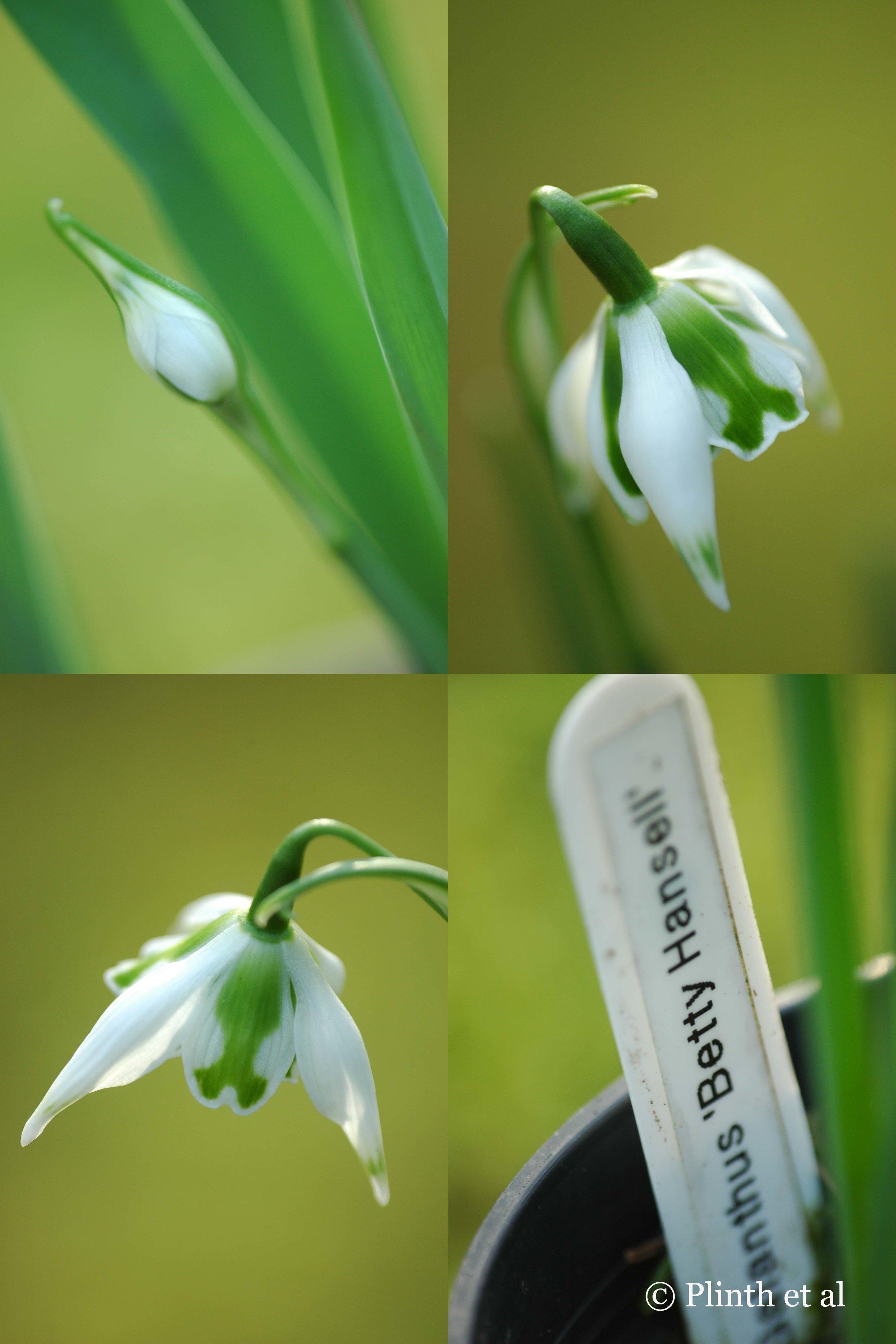 Snowdrop_Betsy_Collage
