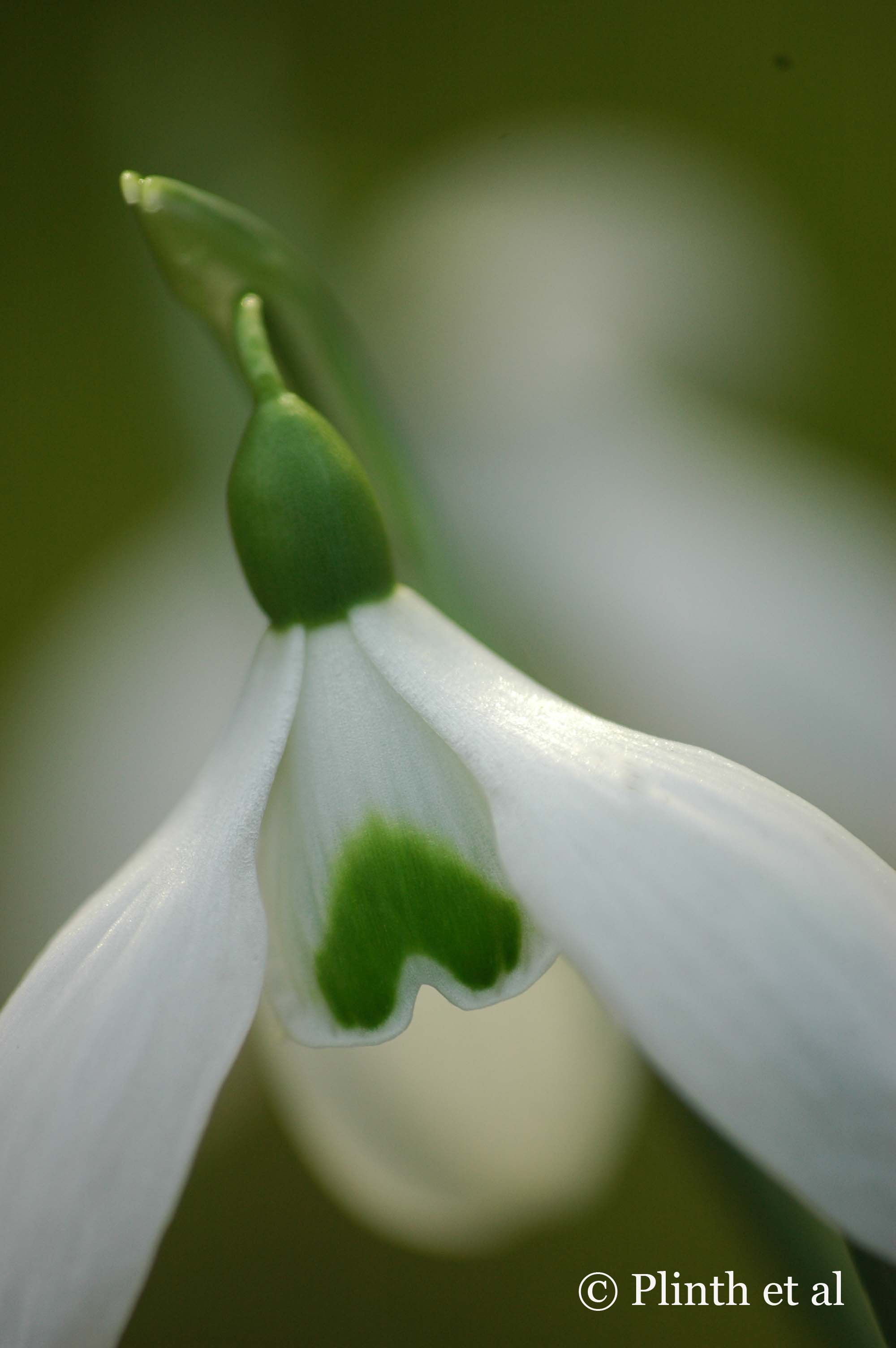 Snowdrop_Close_UP