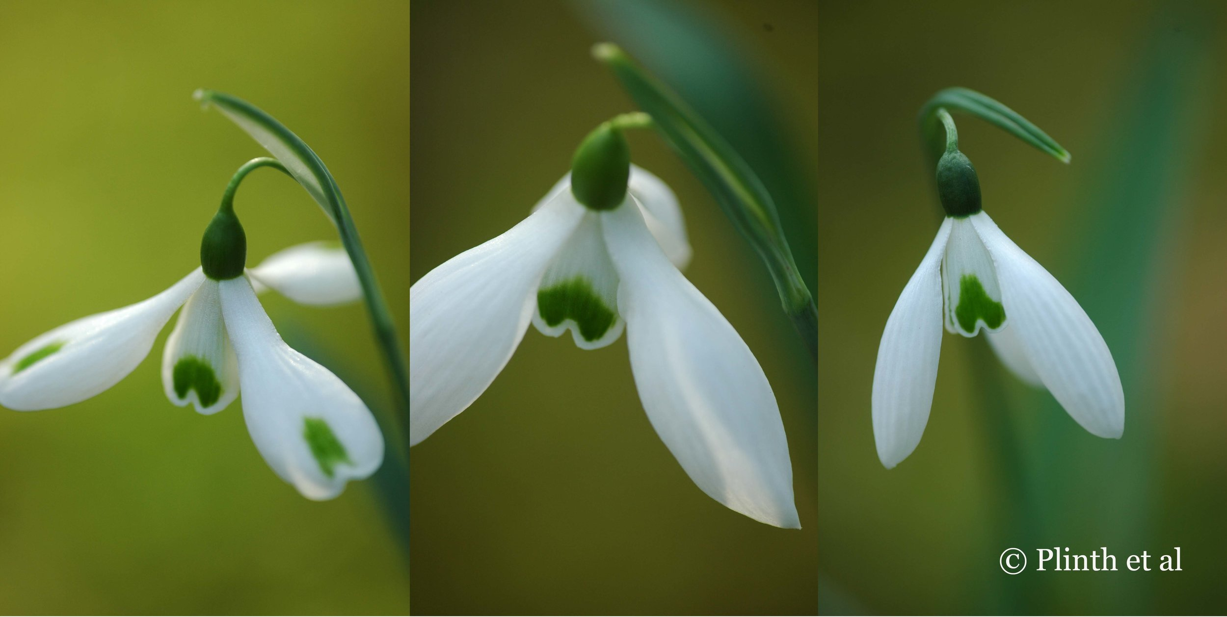 The green markings in the inner segments of snowdrops (sometimes on the outer parts too) are like tattoos.