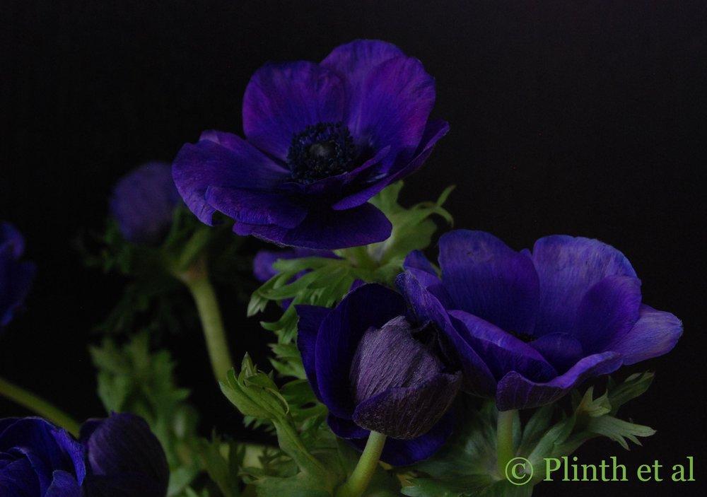 purple_anemones2.jpg