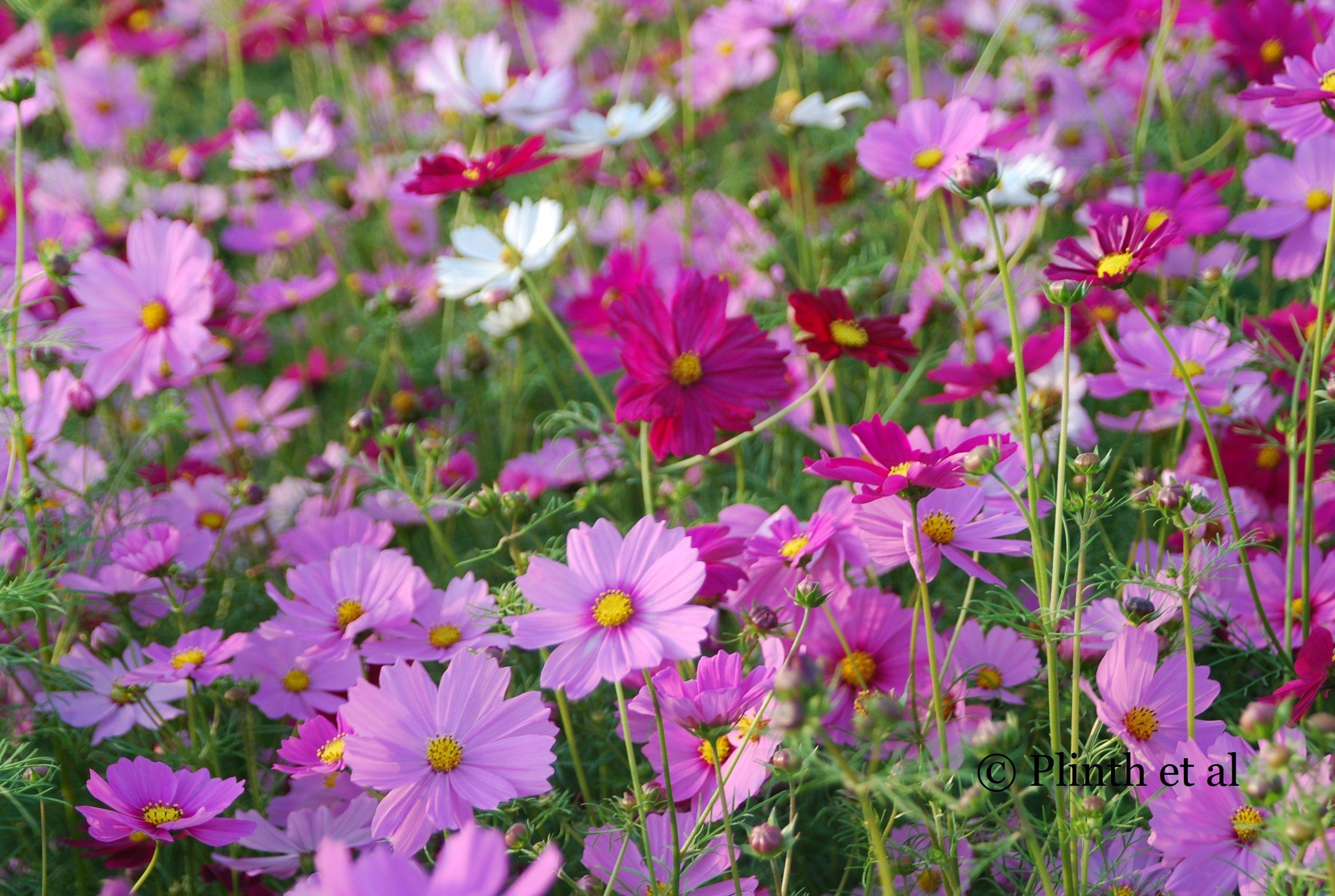Annuals for late summer plinth et al a field of cosmos bipinnatus in full flower izmirmasajfo