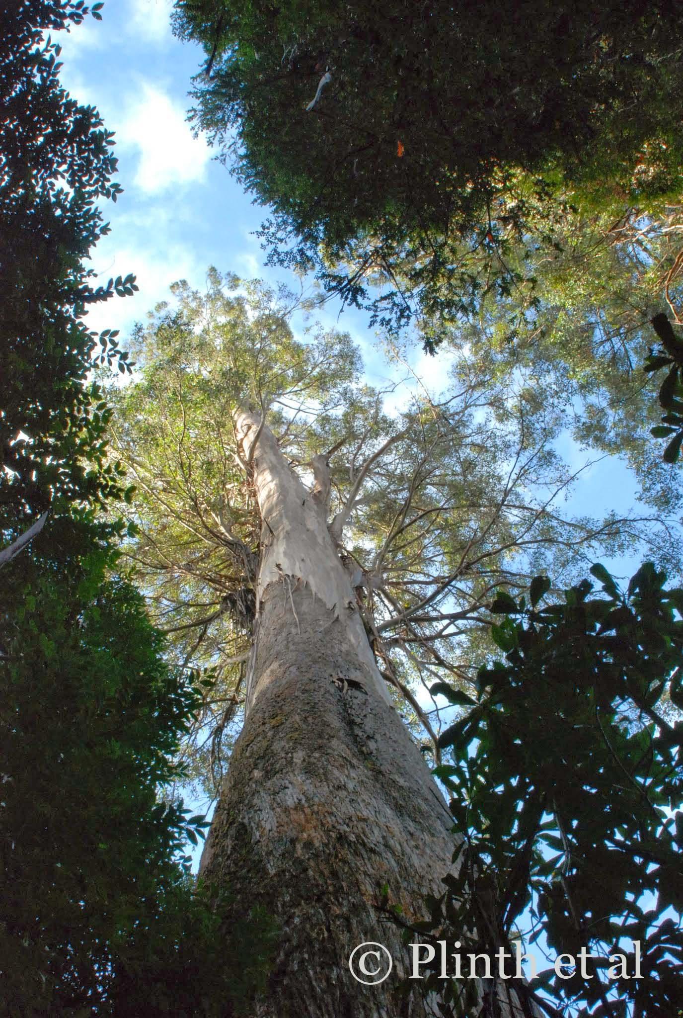 Eucalyptus regnans in Tasmania, Australia