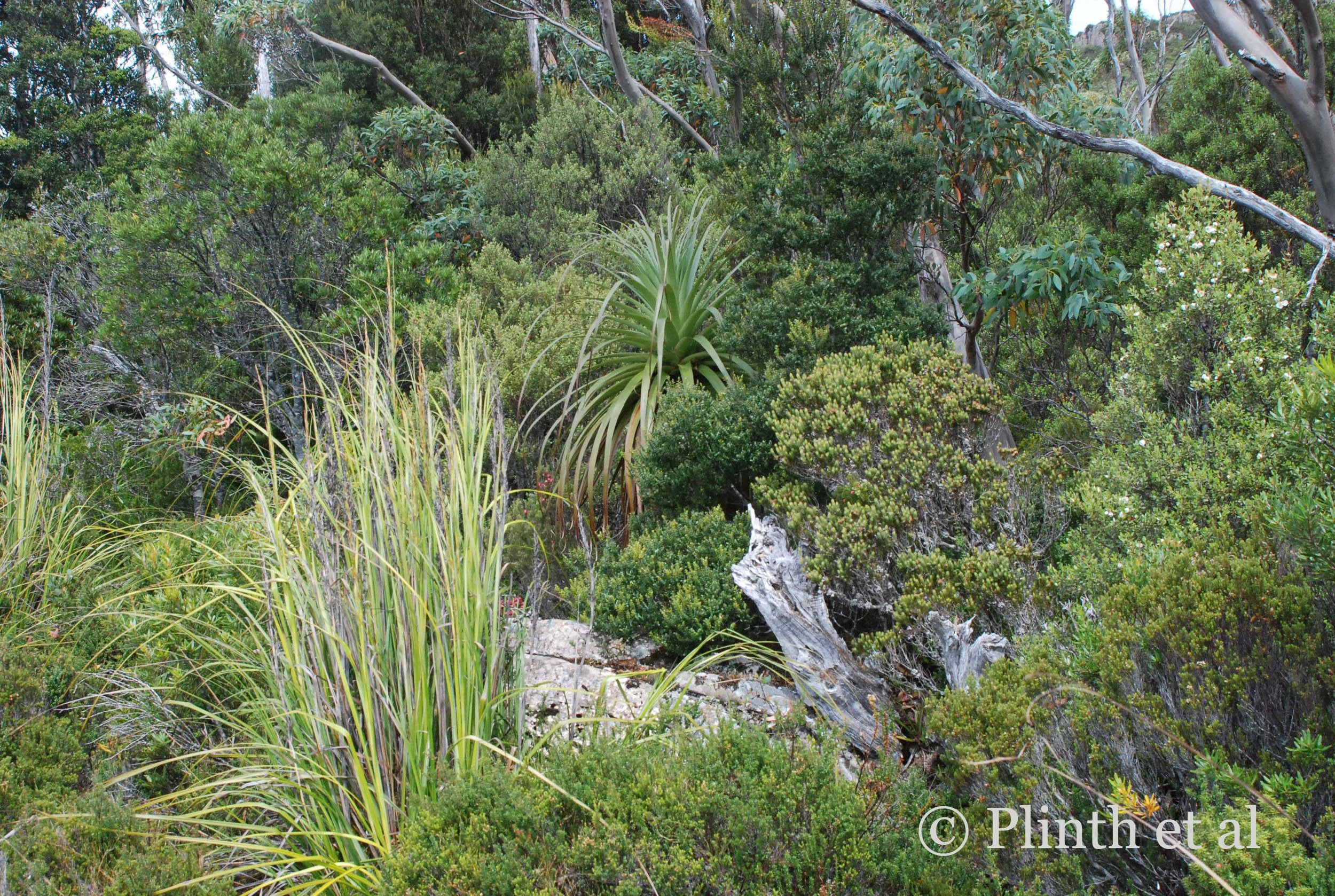 Without the Richea pandanifolia, the entire group would appear an undifferentiated amorphous mass, despite the fallen logs.