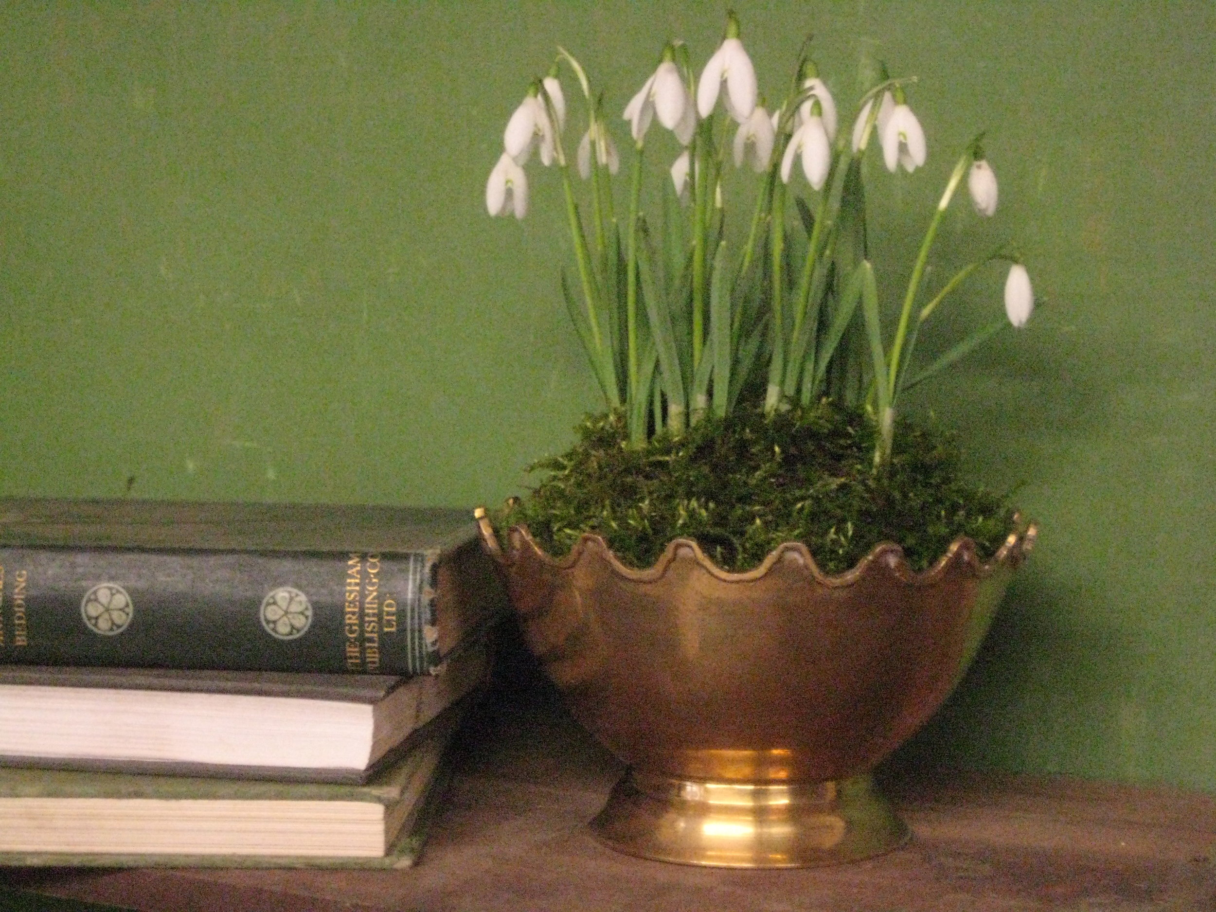 Snowdrops, Galanthus display