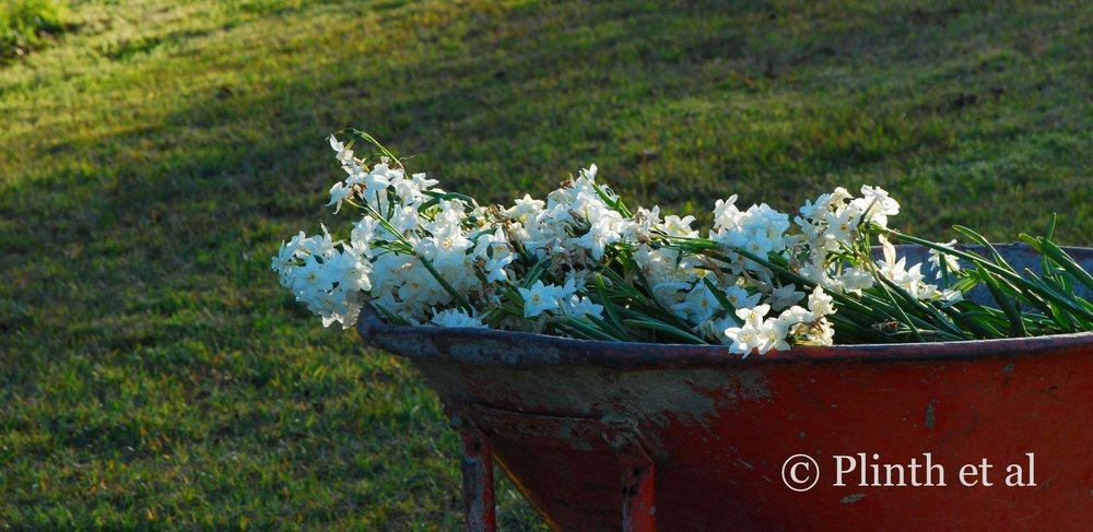 paperwhites-in-wheelbarrow.jpg
