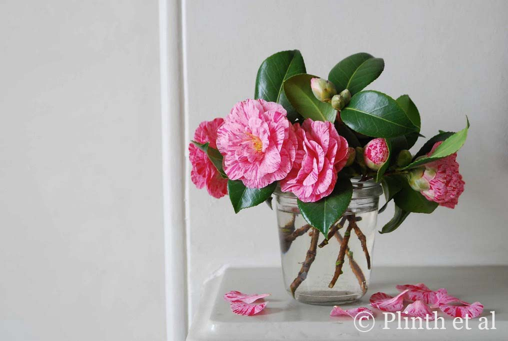 Striped Camellias in Kitchen Jar LQ copy