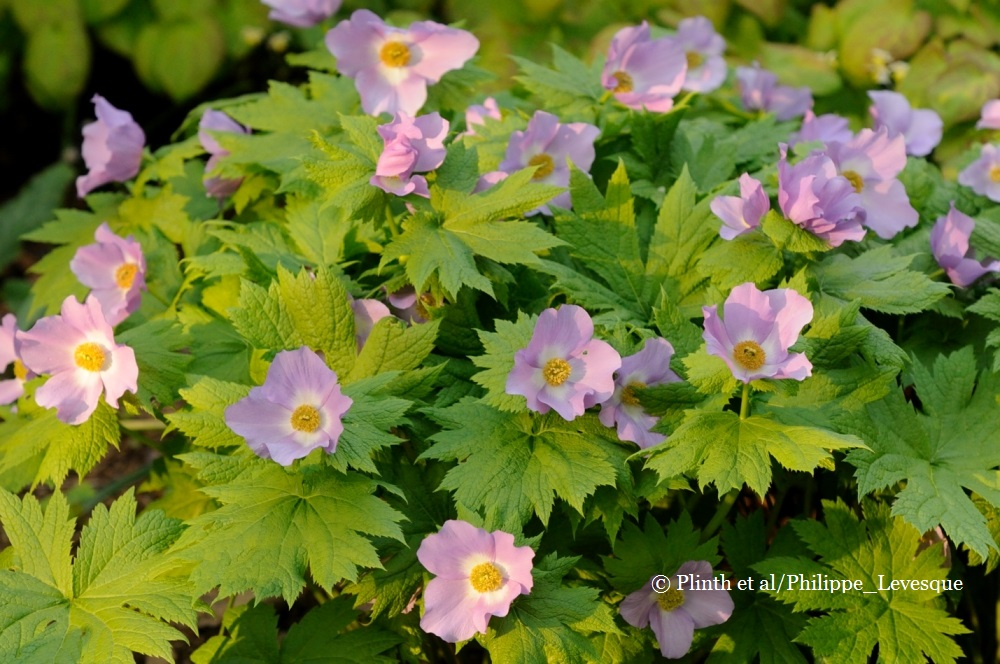 Glaucidium palmatum general