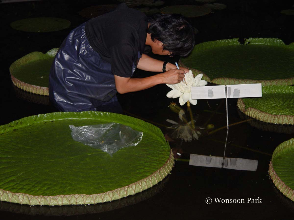 Wonsoon Park pollinates the flower of the Victoria waterlily at Yeomiji Botanical Garden, South Korea.