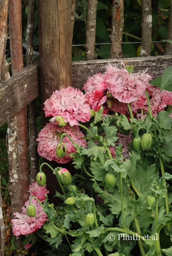 The opium poppy has a duplicitous status  - it simultaneously produces narcotics and culinary seasonings (seeds and oil).