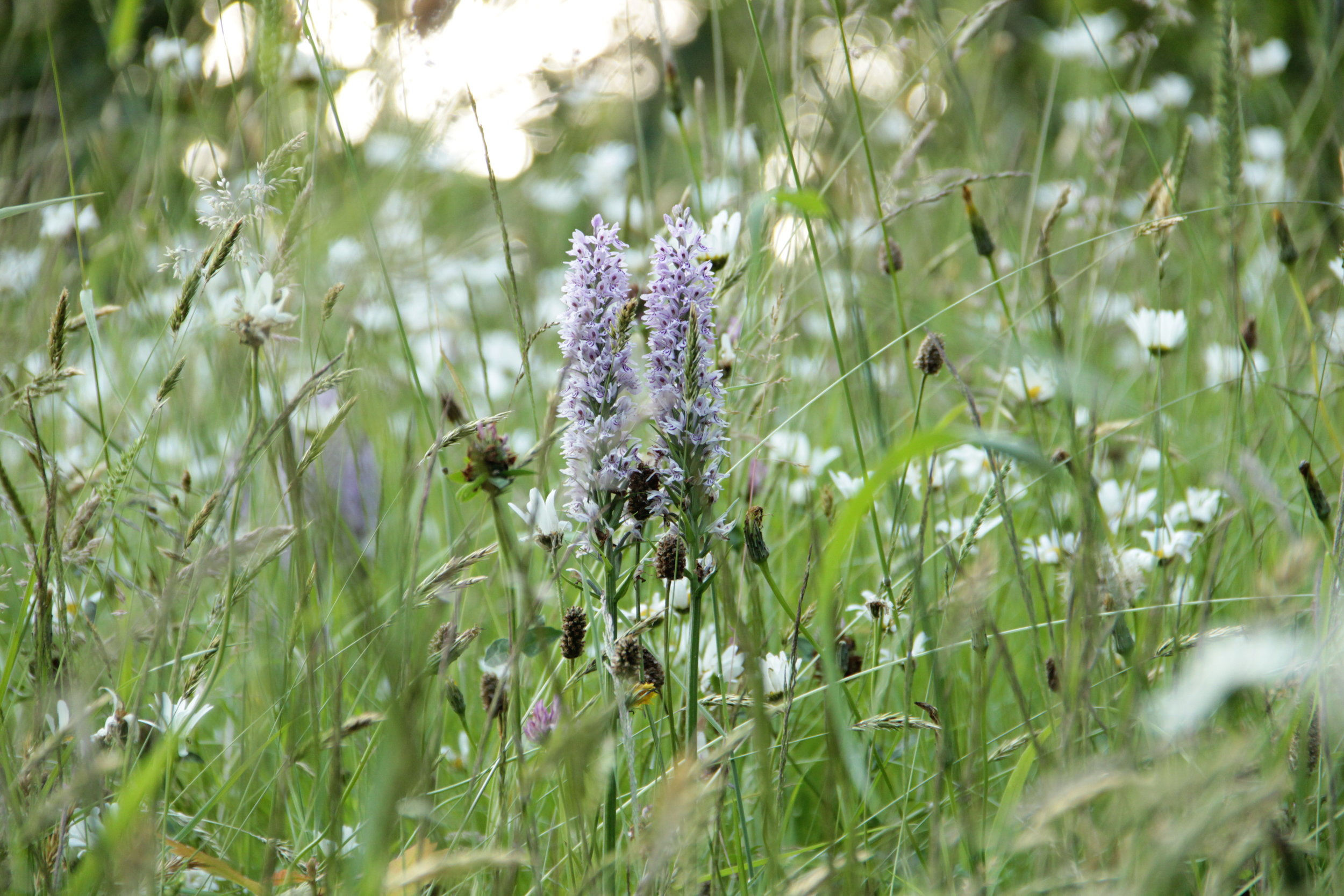 Native Orchids, Dactylorhiza fuchsii, at Gravetye Manor