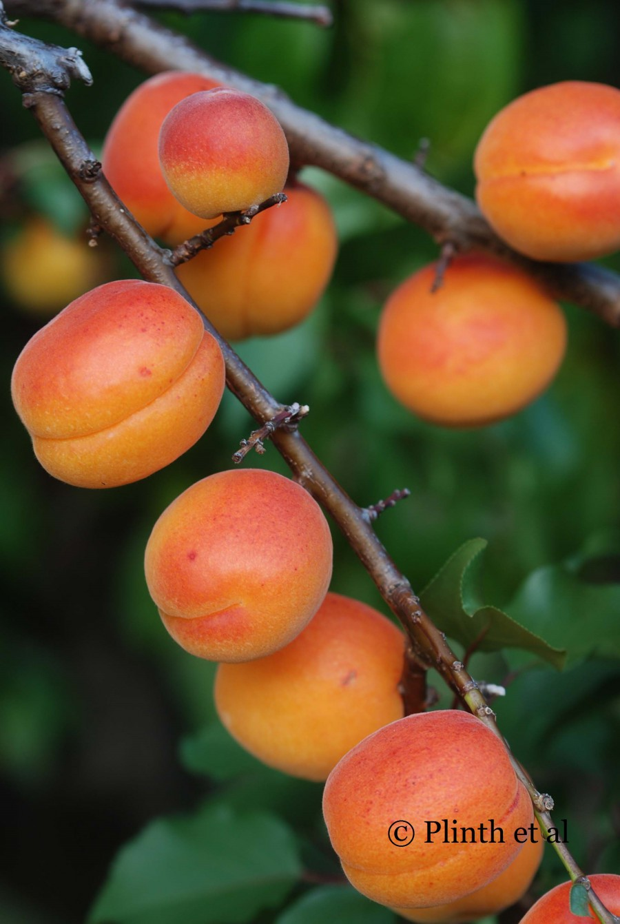 Tasmanian Apricots on Tree
