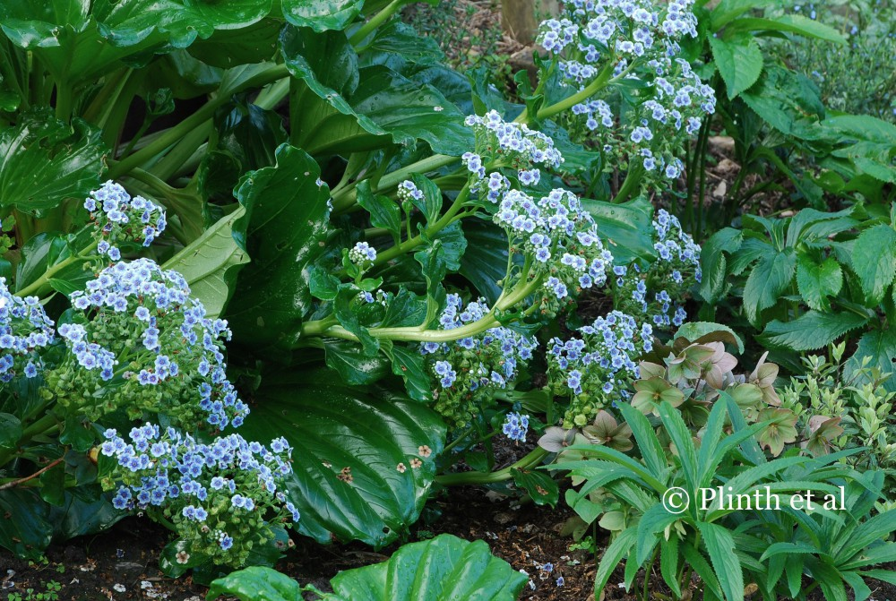 Surprise rarities respond well to the garden's microclimate  - Mysotidium hortensia, an endangered endemic of Chatham islands off New Zealand with large ribbed leaves and thick cymes of blue flowers, has self-seeded.