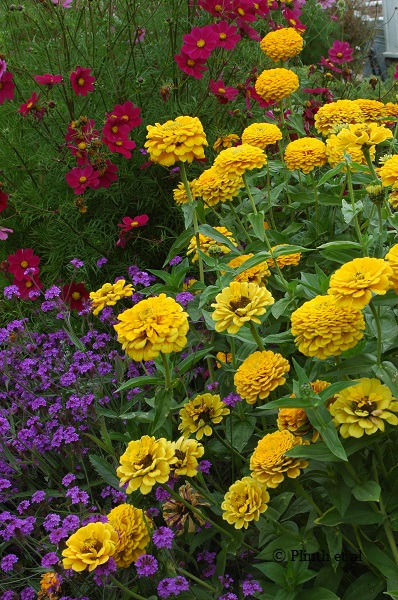 Cosmos bipinnatus 'Versailles Tetra', Verbena rigida, and Zinnia 'Golden Dawn' at Cutting Garden, West Dean, UK