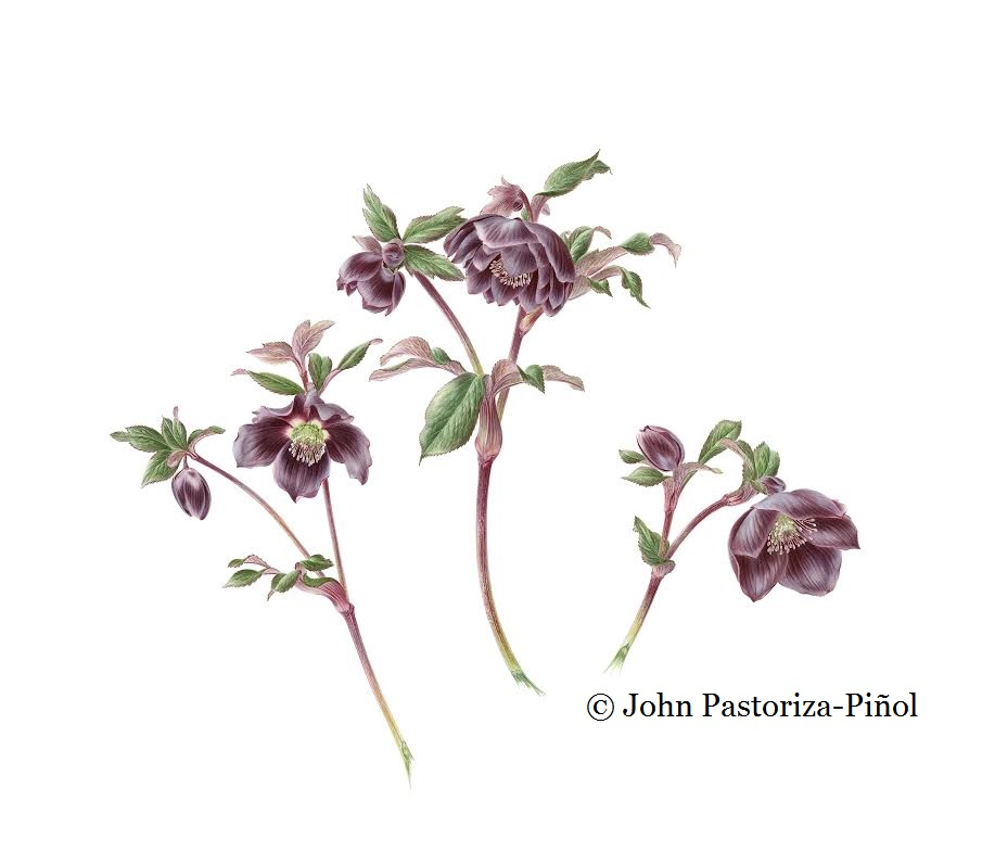 Black hellebores tends to John's taste for the unusual and macabre.