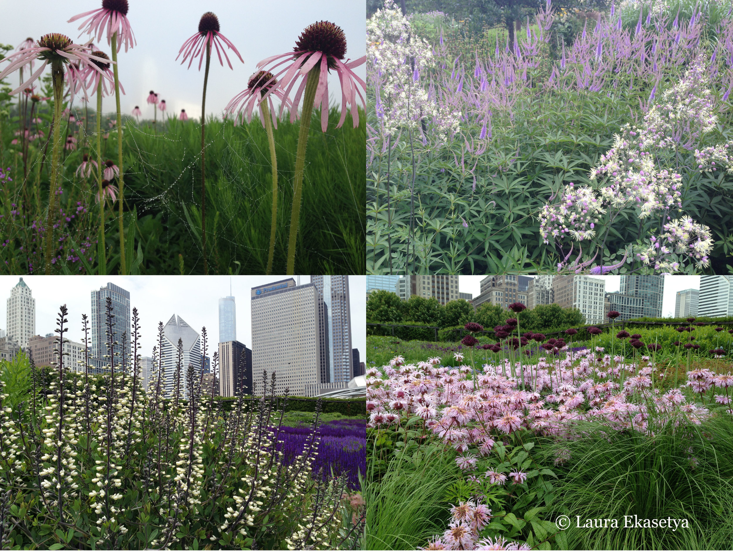 Exquisite plants and combinations can be admired throughout the Lurie Garden merely a stone's throw from downtown Chicago: Echinacea pallida in morning fog; Thalictrum 'Elin' with Veronicastrum virginicum 'Fascination'; Allium atropurpureum and Monarda bradburiana;  Baptisia 'Purple Smoke' with the salvia river in the background.