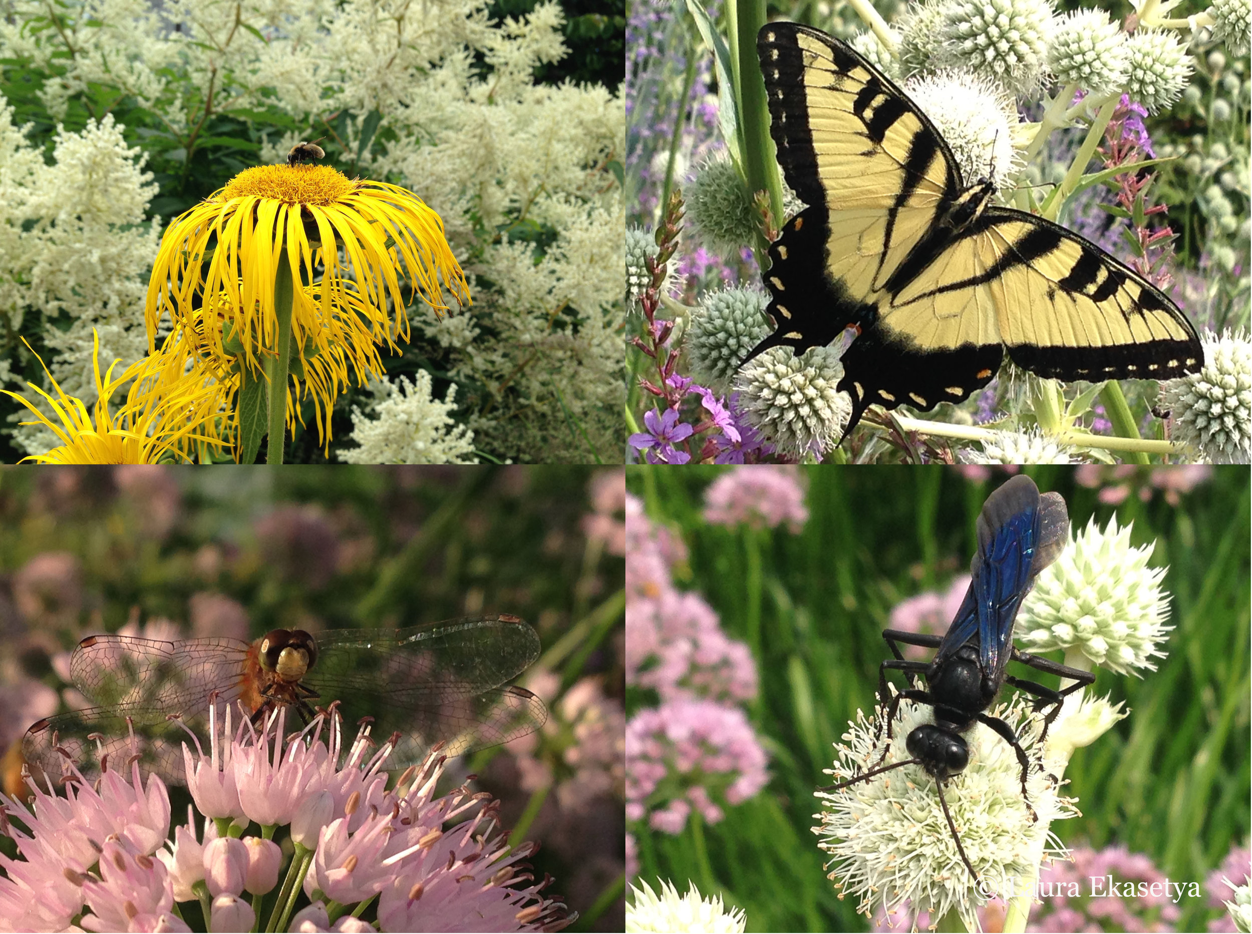 Insect visitors abound at the Lurie Garden (clockwise beginning left): Bee on Inula magnifica 'Sonnenstrahl' backed by Polygonum polymorphum; eastern swallowtail butterfly on Erygnium yuccifolium; great black wasp on Erygnium yuccifolium; dragonfly on Allium 'Summer Beauty'