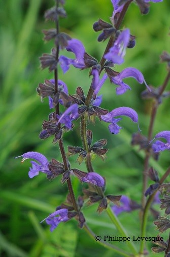 Salvia pratensis, commonly known as meadow sage, colonizes open fields and meadows. It has given rise to the hybrid Salvia x sylvestris.