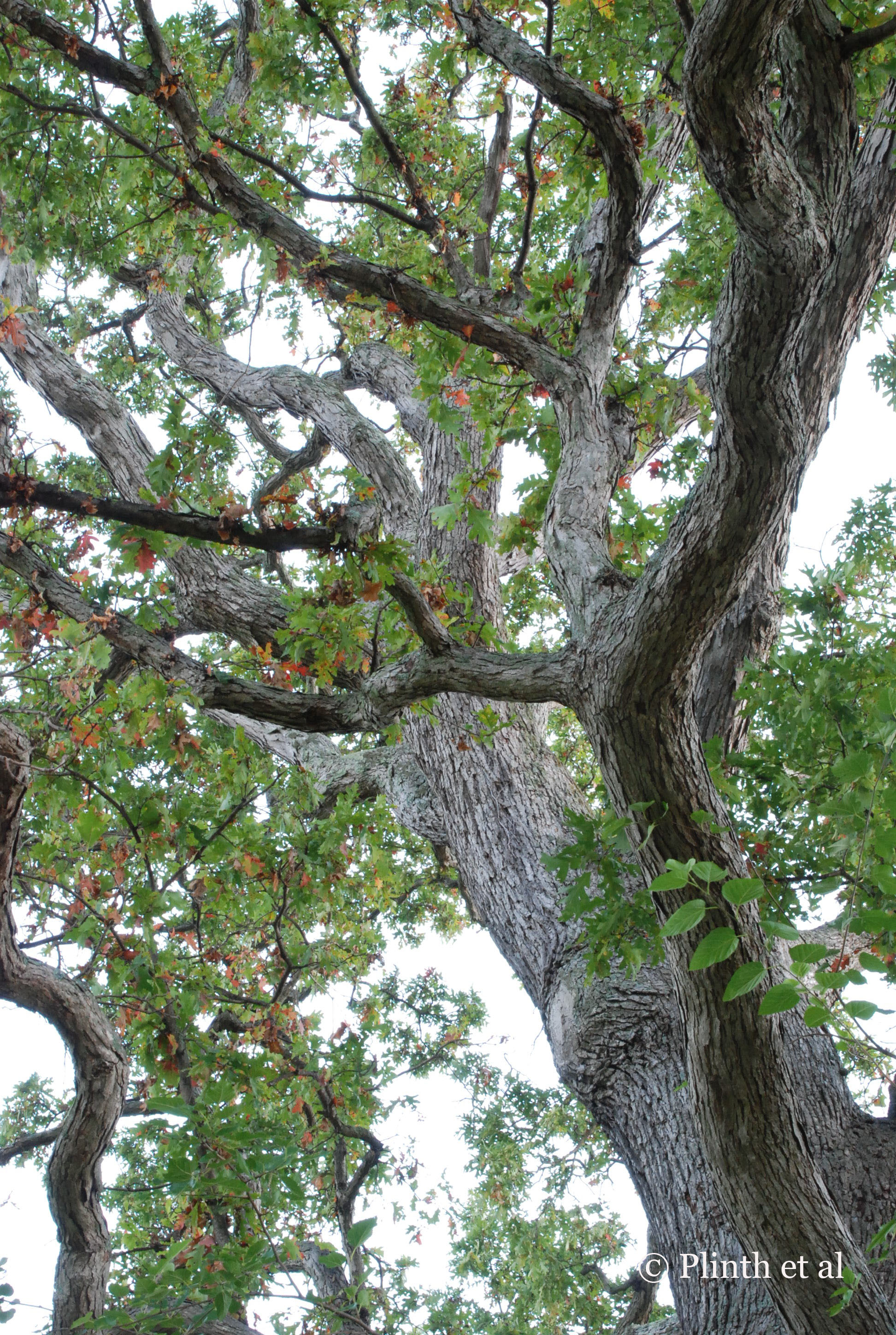 Oak_boughs